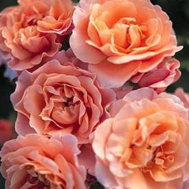 perfume kisses wekmootono p tales de roses. Black Bedroom Furniture Sets. Home Design Ideas