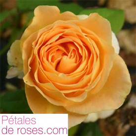 Rosier BATACLAN® tan94488
