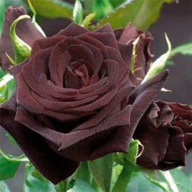 BLACK BACCARA® Meidebenne