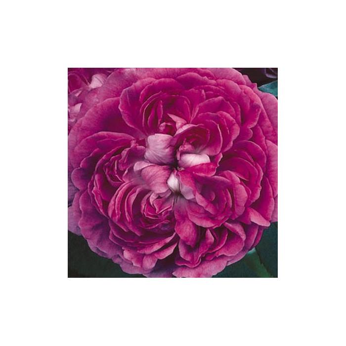 rosier 39 cramoisi des alpes 39 rosa 39 cramoisi des alpes. Black Bedroom Furniture Sets. Home Design Ideas