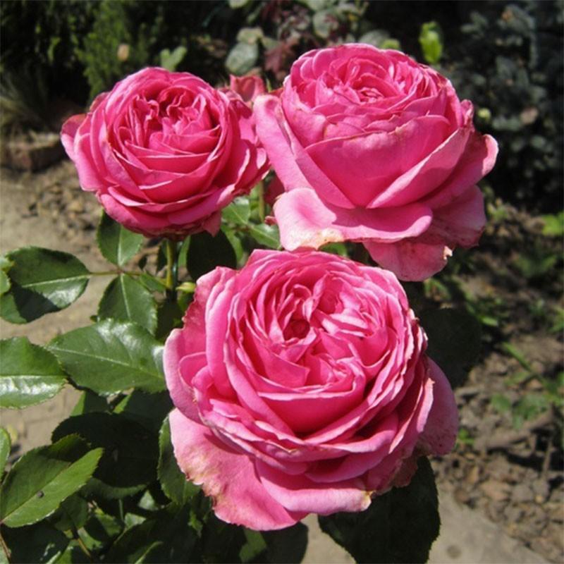 rose ancienne odorante