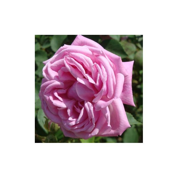 Hermosa P 233 Tales De Roses