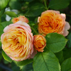 BABY ROMANTICA® Meipaonia