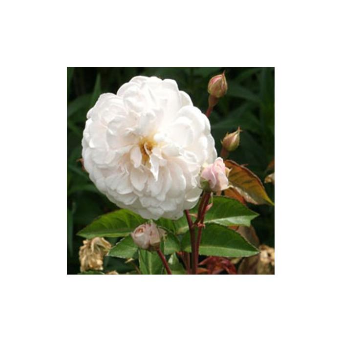 rosier 39 marie pavie 39 rosa 39 marie pavie 39 chez p tales de. Black Bedroom Furniture Sets. Home Design Ideas