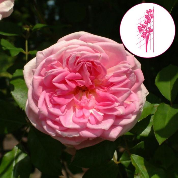 rosier 39 blairie n 2 39 rosa 39 blairie n 2 39 chez p tales de. Black Bedroom Furniture Sets. Home Design Ideas