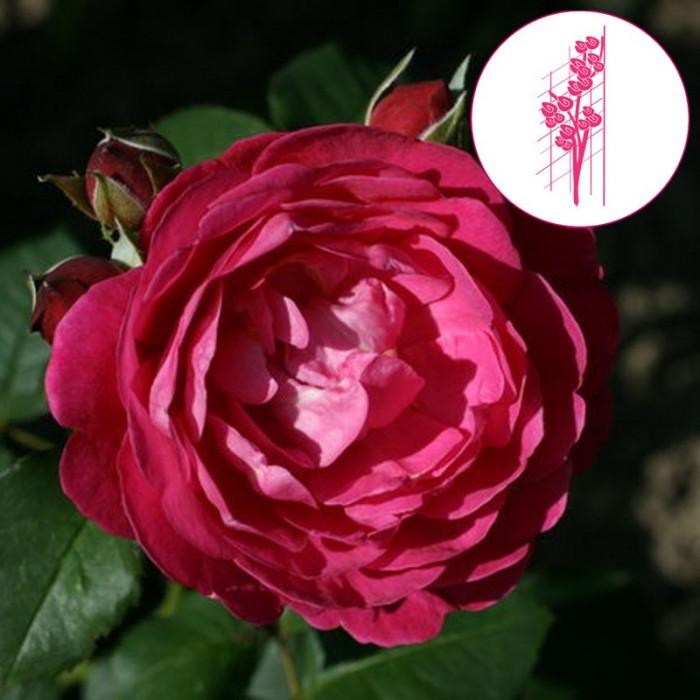 cybelle mascybel p tales de roses. Black Bedroom Furniture Sets. Home Design Ideas