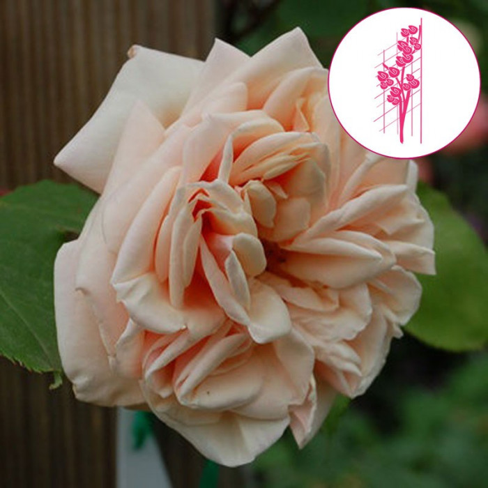 rosier grimpant ancien mme berard chez p tales de roses. Black Bedroom Furniture Sets. Home Design Ideas