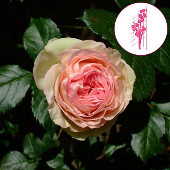 rosier 39 pierre de ronsard 39 meiviolin rosa 39 pierre de. Black Bedroom Furniture Sets. Home Design Ideas