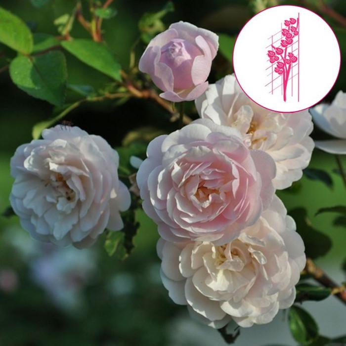 rosier 39 rose delacroix 39 mascep rosa 39 rose delacroix 39 mascep chez p tales de. Black Bedroom Furniture Sets. Home Design Ideas