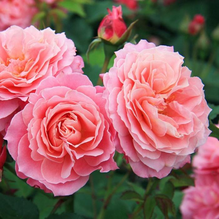 rosier 39 fleurs en seine 39 masflesei rosa 39 fleurs en seine 39 masflesei chez p tales de roses. Black Bedroom Furniture Sets. Home Design Ideas