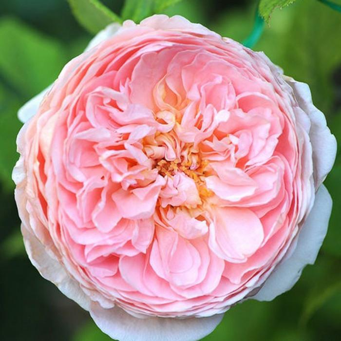 rosa 39 abraham darby 39 auscot 39 abraham darby 39 auscot rose rosebushes producer p tales de. Black Bedroom Furniture Sets. Home Design Ideas