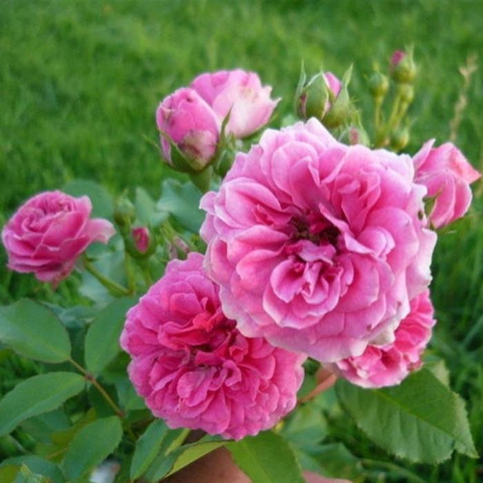 rosier 39 elmshorn 39 rosa 39 elmshorn 39 chez p tales de roses. Black Bedroom Furniture Sets. Home Design Ideas