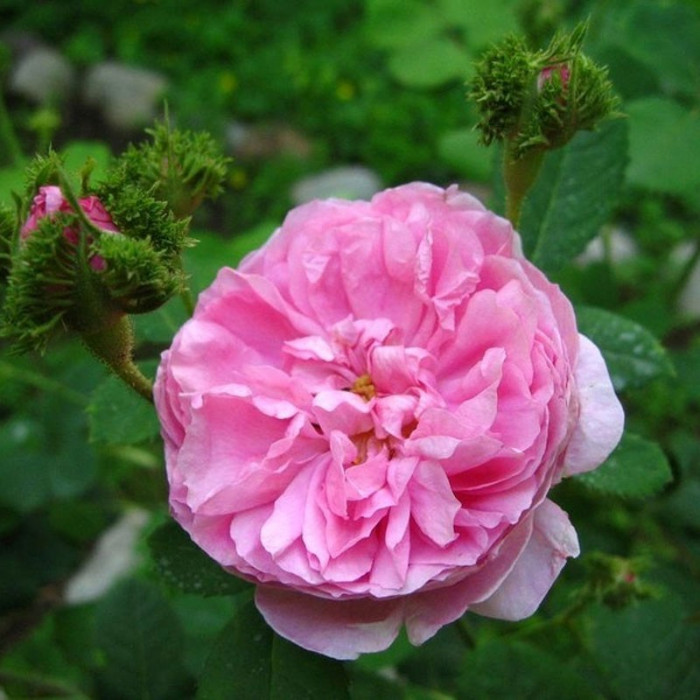 Rosa Centifolia Cristata P 233 Tales De Roses