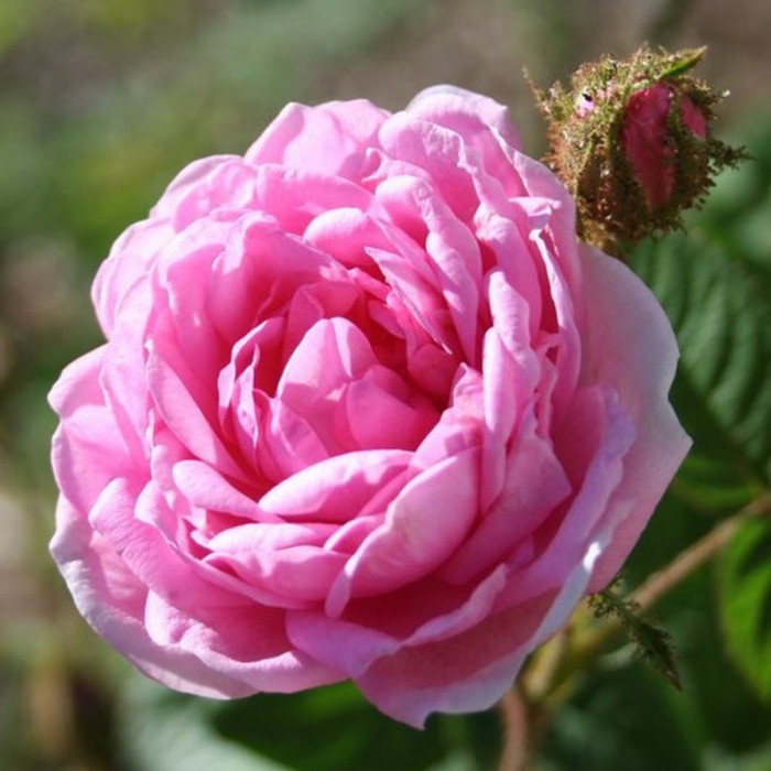 rosa centifolia muscosa p tales de roses. Black Bedroom Furniture Sets. Home Design Ideas
