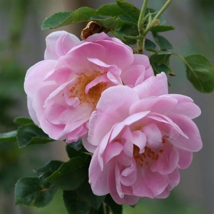 rosier 39 rosa damascena trigintipetala 39 rosa 39 rosa. Black Bedroom Furniture Sets. Home Design Ideas