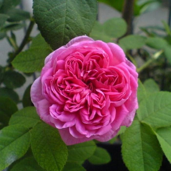 rosier 39 rose de rescht 39 rosa 39 rose de rescht 39 chez. Black Bedroom Furniture Sets. Home Design Ideas