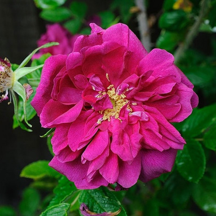 rosier 39 roseraie de l 39 hay 39 rosa 39 roseraie de l 39 hay 39 chez. Black Bedroom Furniture Sets. Home Design Ideas