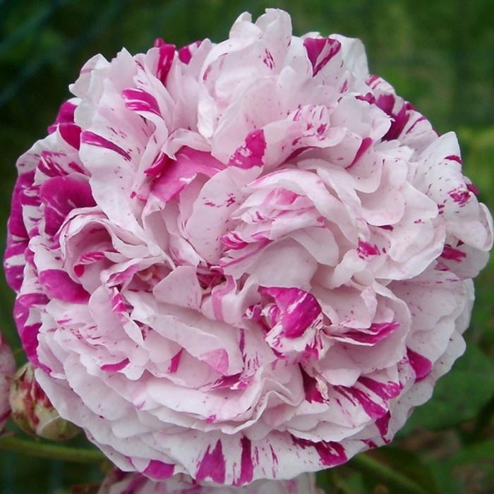 rosier 39 variegata di bologna 39 rosa 39 variegata di bologna. Black Bedroom Furniture Sets. Home Design Ideas