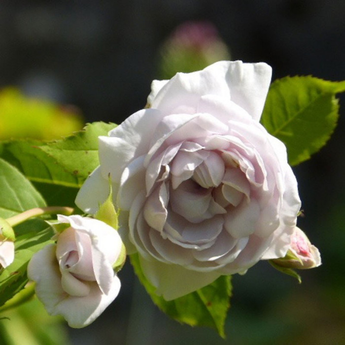 Griselis p tales de roses - Petales de roses sechees ...