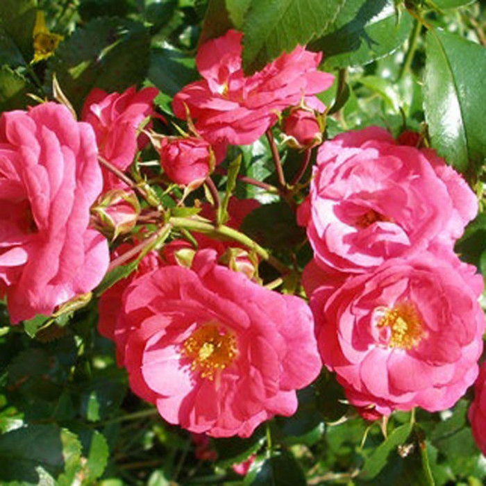 Anadia meirameca p tales de roses - Petales de roses sechees ...