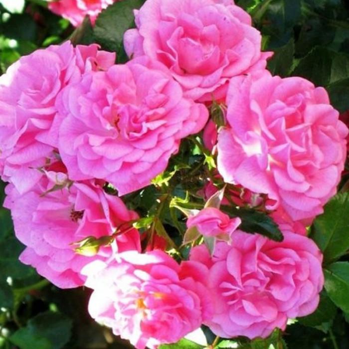 rosier 39 beauce 39 korsilan rosa 39 beauce 39 korsilan chez p tales de le sp cialiste. Black Bedroom Furniture Sets. Home Design Ideas