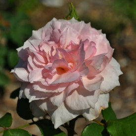 THE WEDGWOOD ROSE® Ausjosiah