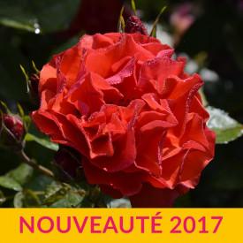ROSE DE MONTMÉRAC®