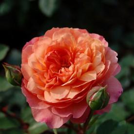'ROSE DE GERBEROY®' Masroger