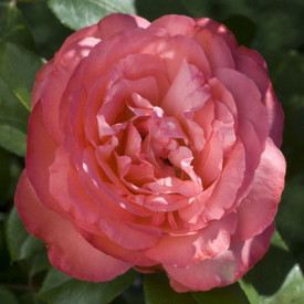 PANTHERE ROSE®Meicapinal