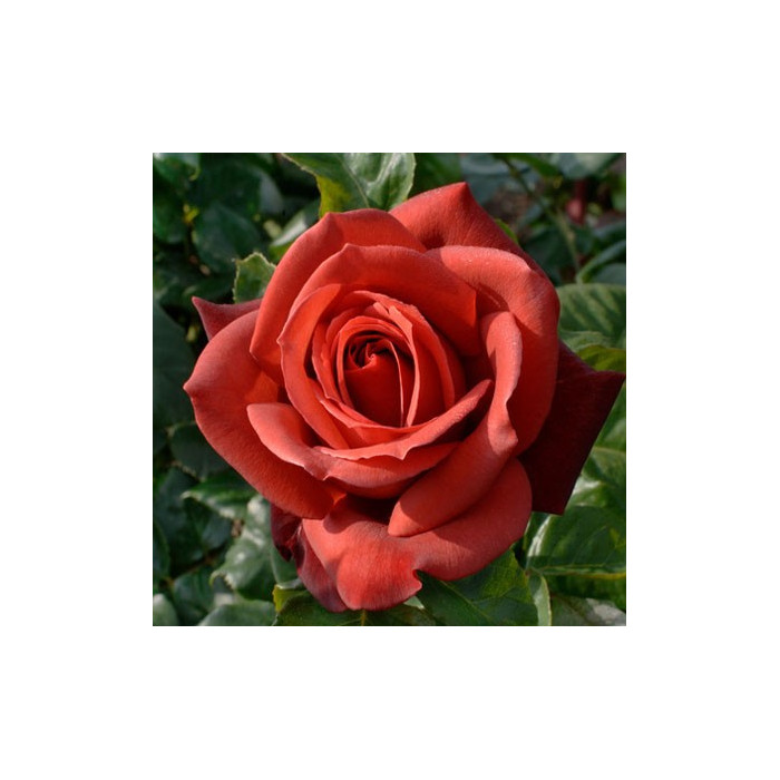 rosier 39 terracotta 39 simchoca rosa 39 terracotta. Black Bedroom Furniture Sets. Home Design Ideas