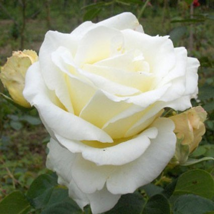 frederic chopin роза