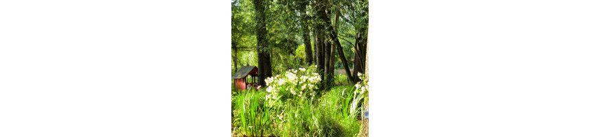 Commandez vos Rosiers buissons à fleurs groupées