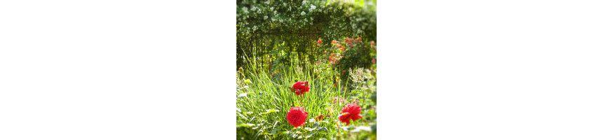 Commandez vos Rosiers Buissons à Grandes Fleurs - Petales-de-roses.com
