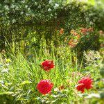 Rosiers à Grandes Fleurs