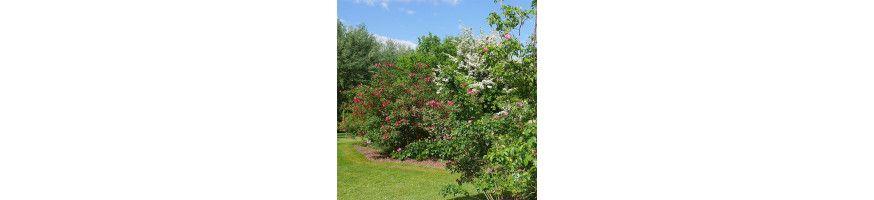 Commandez vos Rosiers Anciens avec Petales-de-roses.com