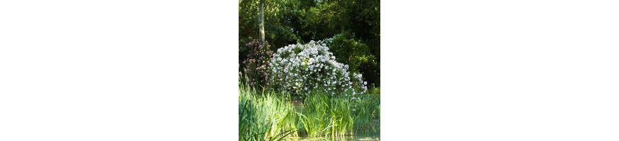 Commandez vos Rosiers Arbustifs et Paysagés avec Petales-de-roses.com