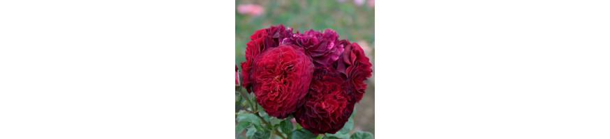 Commandez vos Rosiers Demi-tiges chez Petales-de-roses.com
