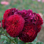 Half standard Tree Roses