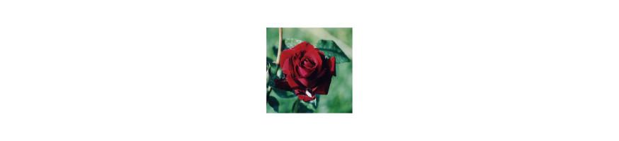 Commandez vos Rosiers Tiges chez Petales-de-roses.com