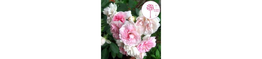 Commandez vos Rosiers Demi-pleureurs chez Petales-de-roses.com