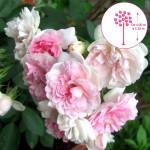 Weeping Standard Roses