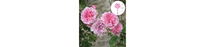 Commandez vos Rosiers Pleureurs chez Petales-de-roses.com