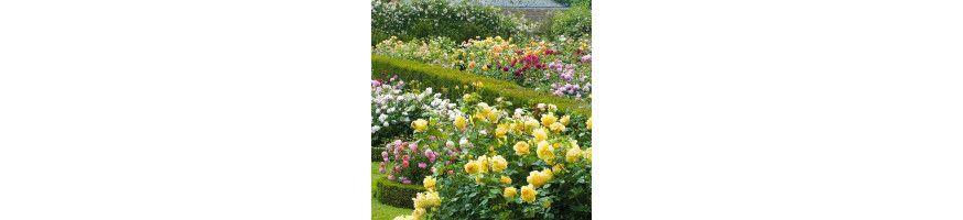 English rosebushes ! Producer | The specialist of rosebushes