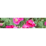 Modern Climbing Roses