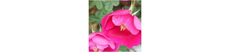 Repeat Flowering