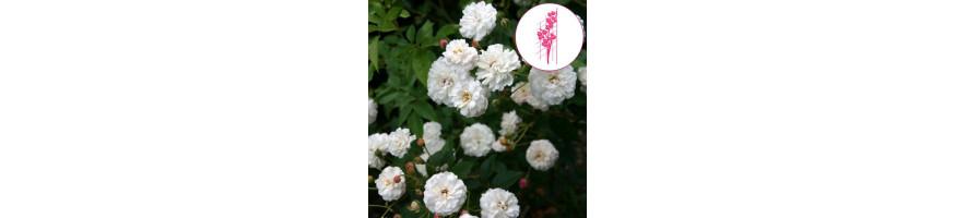 Commandez vos Rosiers Lianes Non Remontants chez Petales-de-roses.com