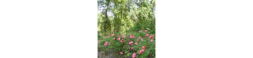 Commandez vos Rosiers Botaniques avec Petales-de-roses.com
