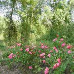 Botanical Roses