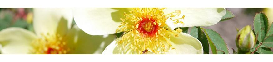 Commandez vos Rosiers Grimpants Anciens avec Petales-de-roses.com